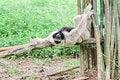 Free White Handed Gibbon Or Lar Gibbon. Stock Images - 19921374