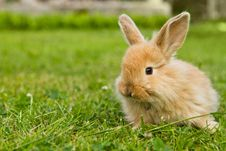 Free Baby Gold Rabbit In Grass Royalty Free Stock Images - 19920219