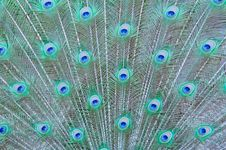 Free Feathers Of A Peacock Stock Photography - 19921272