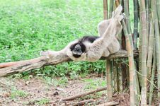 White Handed Gibbon Or Lar Gibbon. Stock Images