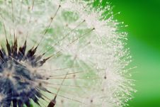 Free Close-up Of Wet Dandelion Stock Images - 19921414