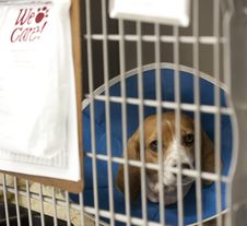 Free Beagle Under Care In Vet S Cage Royalty Free Stock Photography - 19921877
