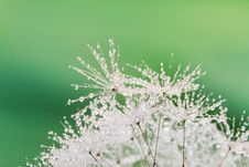 Free Close-up Of Wet Dandelion Stock Image - 19921891