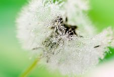 Close-up Of Wet Dandelion Stock Photography