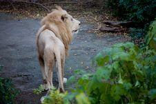 Free White Lion Stock Photography - 19922252