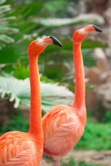 Free Flamingo Royalty Free Stock Photography - 19922367