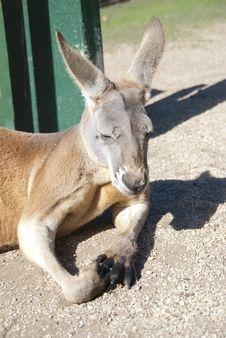 Free Kangaroo. Australia Royalty Free Stock Photo - 19922785