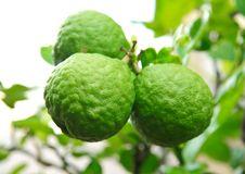 Free Kaffir Lime Stock Photo - 19923180