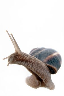 Free Garden Snail Royalty Free Stock Photo - 19923915