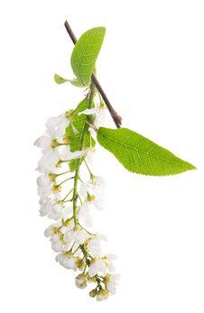 Free Bird Cherry Tree Inflorescences On White Royalty Free Stock Images - 19924559