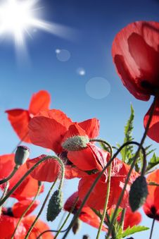 Free Poppy Stock Photo - 19925610