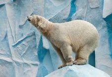 Free White Bear Stock Image - 19925781