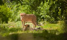 Free Cheetah Royalty Free Stock Photos - 19925788