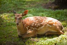 Free Deer Royalty Free Stock Image - 19925796