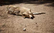 Free Wolf Stock Photo - 19925800