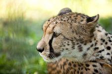 Free Cheetah Royalty Free Stock Images - 19925809