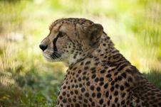 Free Cheetah Royalty Free Stock Photo - 19925815