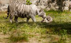 Free White Tiger Royalty Free Stock Image - 19925816