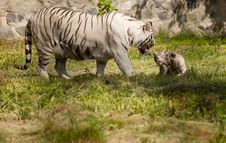 Free White Tiger Royalty Free Stock Photography - 19925817