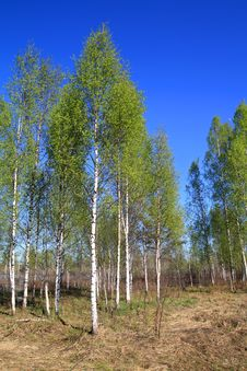Free Birch Wood Royalty Free Stock Image - 19926246