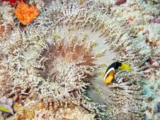 Free Clown Fish And Maldivian Anemone Stock Images - 19926474