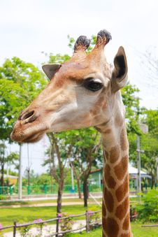Free Giraffa Stock Photography - 19926652