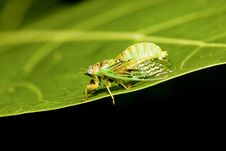 Cicadas Royalty Free Stock Photography