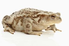 Free Toad (bufo Bufo) Royalty Free Stock Images - 19928709