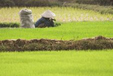 Free Paddy Fields Stock Photography - 19928862
