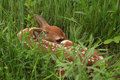 Free White-tailed Deer Fawn Royalty Free Stock Image - 19933166