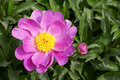 Free Peony Flower Royalty Free Stock Image - 19933726
