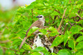 Free Yellow Vented Bulbul Stock Photography - 19936122