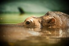 Free Hippo Royalty Free Stock Photo - 19930015