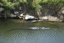 Free Alligator Royalty Free Stock Photos - 19930548