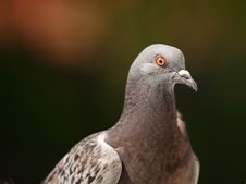 Free Columba Livia Stock Photos - 19931283