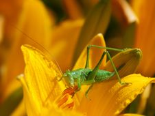 Free Green Grasshopper Stock Images - 19932094