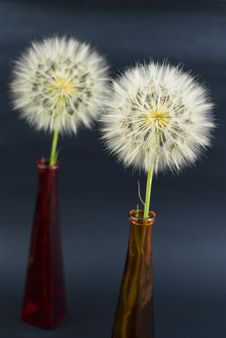 Free Two Beautiful Dandelions Royalty Free Stock Photo - 19933185