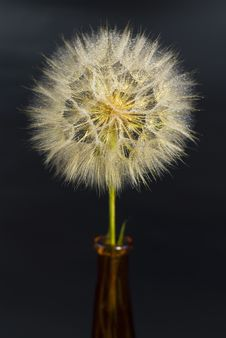 Free Beautiful Dandelion With Water Drops Royalty Free Stock Photography - 19933207