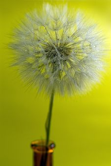 Free Dandelion With Drop Water Stock Image - 19933311