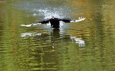 Free Black Swan Royalty Free Stock Images - 19933969