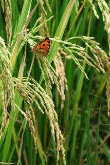 Free Green Rice Paddy Stock Photo - 19935190