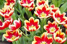Free Tulip Royalty Free Stock Image - 19935256