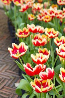 Free Tulip Stock Photography - 19935282
