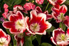 Free Tulip Royalty Free Stock Image - 19935306