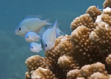 Free Blue-Green Chromis Royalty Free Stock Image - 19936046