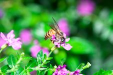 Free Bee Pollination Royalty Free Stock Photos - 19936238