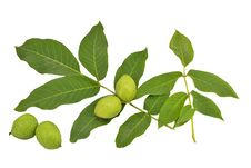 Free Green Branch. Stock Images - 19936244