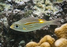 Free Gold-Line Sea Bream Royalty Free Stock Photos - 19936458