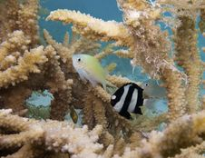 Free Green Chromis And Humbug Dascyllus Stock Image - 19936501