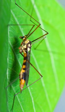 Free Crane Fly Macro Royalty Free Stock Image - 19936556